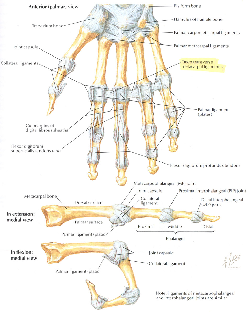 Pictures Of Top Of Hand Ligaments Kidskunstfo